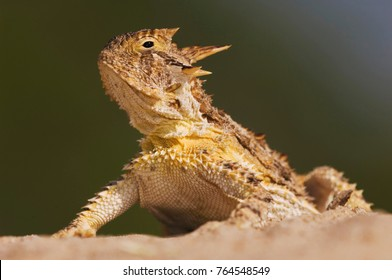 Texas Horned Lizard, Phrynosoma cornutum, adult, Willacy County, Rio Grande Valley, Texas, USA, June
