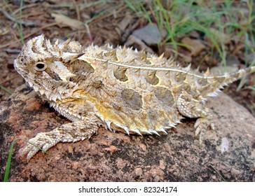 Texas Horned Lizard, Phyrnosoma cornutum
