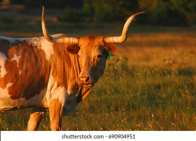 Texas Long Horn at sunset