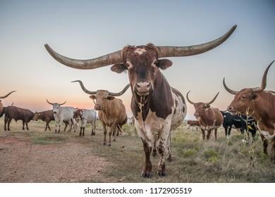 Texas Longhorn bull and cow herd