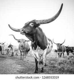 Texas longhorn bull and his cow herd