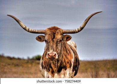 a Texas Longhorn bull located in range land on the Oklahoma panhandle, about 50 miles west of Woodward.