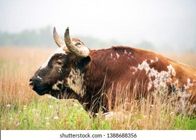 Texas Longhorn bull at the Wichita Mountains National Wildlife Refuge near Lawton, Oklahoma