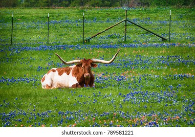 Texas longhorn cattle in bluebonnet wildflower pasture in the spring