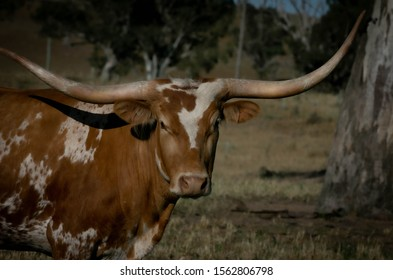 Texas Longhorn cattle farm house country lifestyle