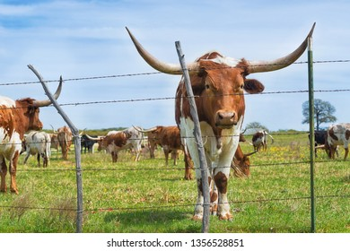 Texas longhorn cattle grazing behind a fence on green pasture in the spring. Blue sky background.