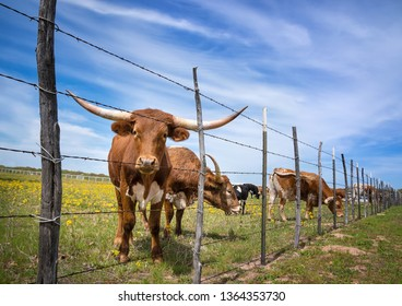 Texas longhorn cattle grazing behind a fence on a yellow flower pasture in the spring. Blue sky background.