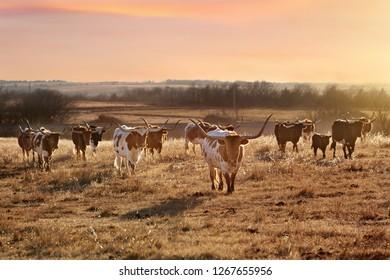 Texas longhorn cattle herd at sunset
