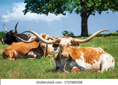 Texas longhorn cattle lying down in the spring pasture