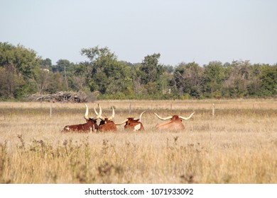 Texas Longhorn Cattle Resting in a Field