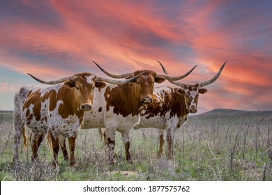 Texas longhorn cattle at sunset in a pasture in the Oklahoma panhandle.