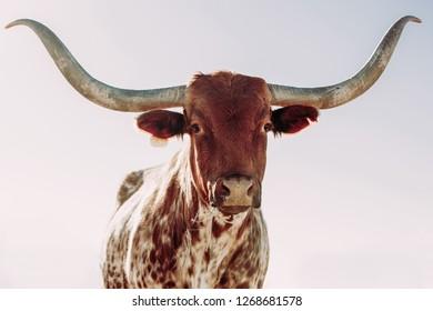 Texas longhorn cow close up
