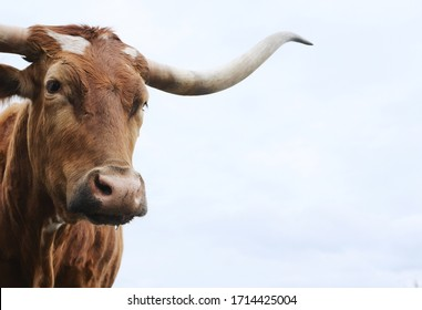 Texas longhorn cow close up looking at camera for cattle portrait, copy space on sky background.