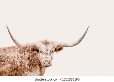 texas longhorn cow closeup