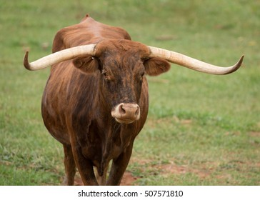 Texas longhorn cow in green pasture
