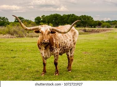 A Texas longhorn cow on a cattle ranch near Woodward Oklahoma