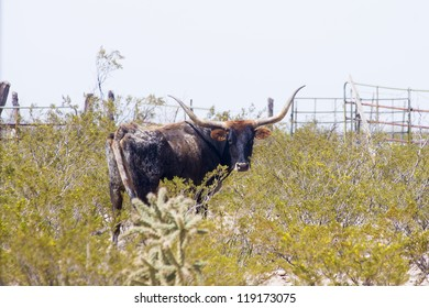 Texas longhorn cow on pasture