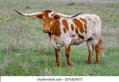 a Texas longhorn cow in a pasture in the Oklahoma panhandle.