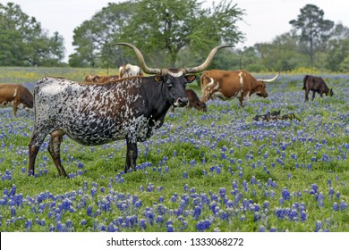 Texas longhorn cow standing in the  bluebonnet field in Hill Country, Texas, USA