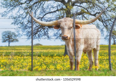 Texas longhorn grazing behind a fence on yellow flower pasture in the spring.
