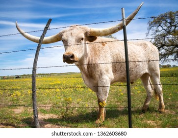 Texas longhorn grazing behind a fence on yellow flower pasture in the spring. Blue sky background.
