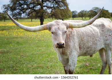 Texas longhorn grazing on yellow flower pasture in the spring. Closeup.