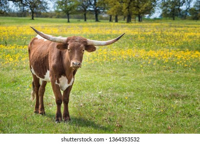 Texas longhorn grazing on yellow flower pasture in the spring.