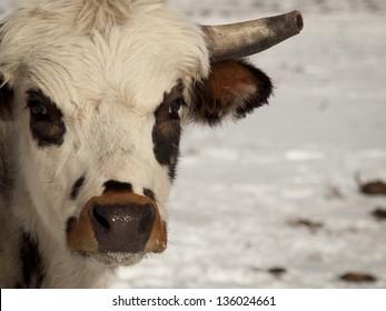 Texas longhorn on the farm in Silverthorne, Colorado.