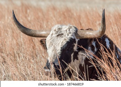 Texas longhorn relaxing in tall brown/yellow grass