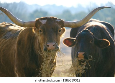 Texas Longhorn and Santa Gertrudis cattle eating hay and looking at camera.  Cow on farm concept.
