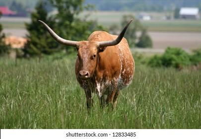 Texas Longhorn standing in green field