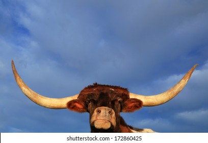 Texas Longhorn Steer with a blue sky and clouds background, Utah, USA.