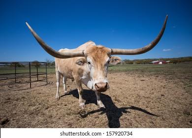 Texas Longhorn Steer near Smithville Texas