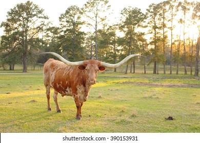 Texas Longhorn at Sunset
