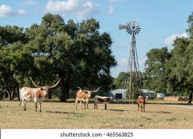 Texas Longhorns at the Ranch
