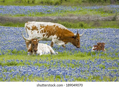 Texas Longhorns and young in bluebonnets