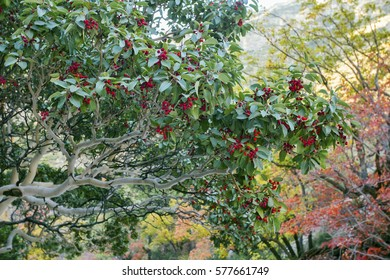 A Texas Madrone tree (Arbutus xalapensis) showing red berries in the late fall season. Taken at Guadalupe Mountains National Park in Texas.