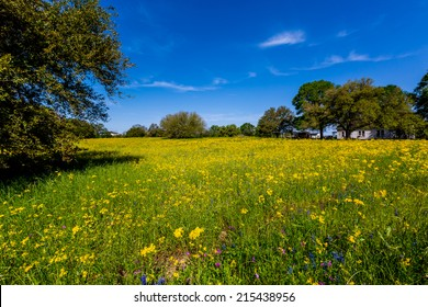A Texas Meadow Full of Various Bright Yellow Wildflowers with Deep Blue Sky in Texas