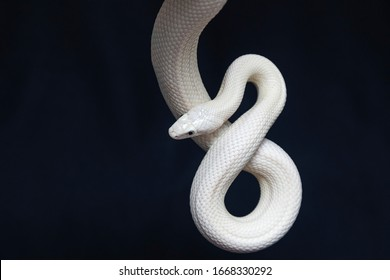 The Texas rat snake (Elaphe obsoleta lindheimeri ) is a subspecies of rat snake, a nonvenomous colubrid found in the United States, primarily within the state of Texas.
