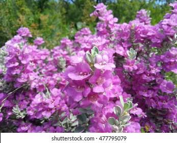 Texas sage blossoms