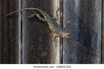 Texas spiny lizard (Sceloporus olivaceus) camouflaged on wooden fence planks