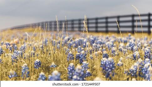 Texas state flower bluebonnet in the farm