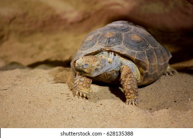 The Texas tortoise (Gopherus berlandieri), is one of four species of tortoise that are native to North America.