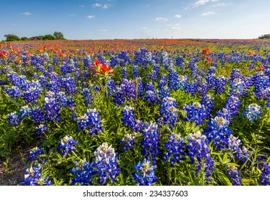 Texas wild bluebonnet and indian paintbrush filed in spring