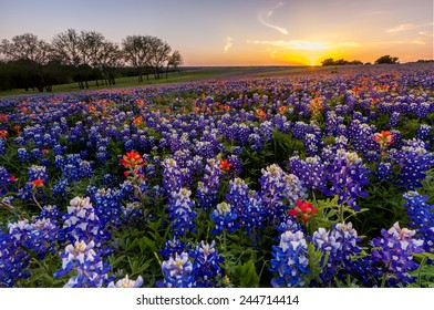 Texas wildflower -  bluebonnet and indian paintbrush filed in sunset.