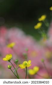 Texas Wildflower Yellow Buttercup Ranunculus bulbosus - Bulbous Buttercup