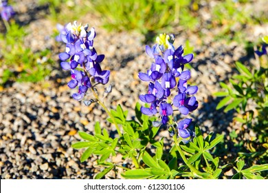 Texas State Flower Images Stock Photos Vectors Shutterstock