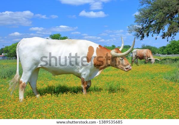 texax-longhorn-cow-bull-grazing-600w-138