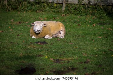 Texel Breed of Sheep Resting in Field