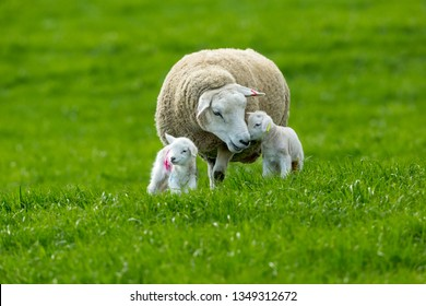 Texel cross ewe (female sheep) with twin lambs in Spring time.  A tender moment between mum and baby.  Texel is a breed of sheep.  Yorkshire, England.  Landscape, horizontal. Space for copy.